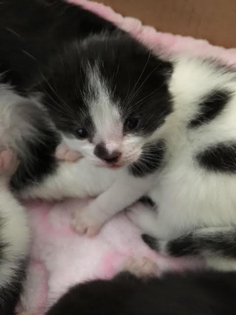 Oreo. kitten for adoption. Toronto GTA