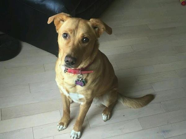 Sparky. Female dog for adoption. Retriever mix. Toronto GTA