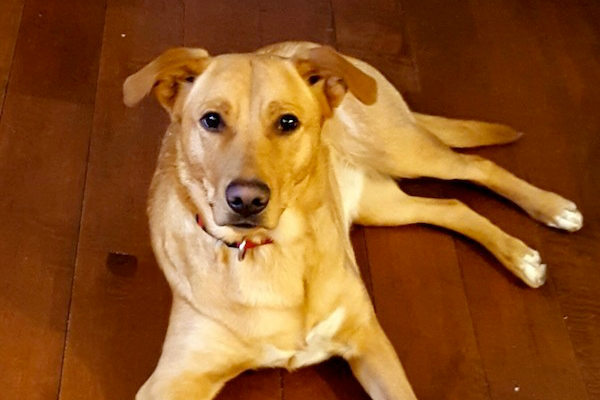 Sparky. Female dog for adoption. Retriever mix. Toronto GTA