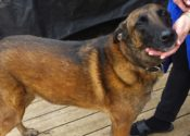 Thunder. Belgian Malinois Dog Seeks Home After Owner Passes