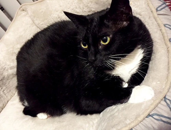 Ursa. Cat for adoption. Toronto GTA Durham Region