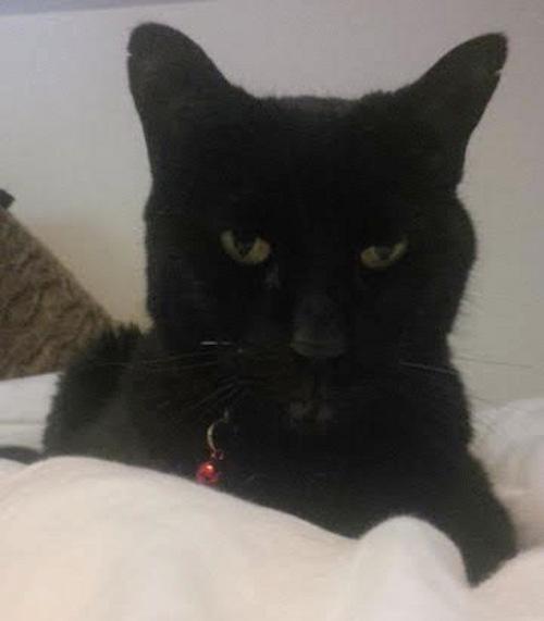 Mika. Cat for adoption. Toronto, GTA, Durham Region
