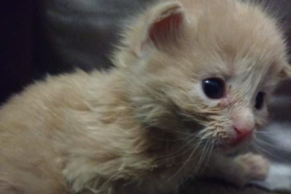 Rescue Kitten. Pearl. For adoption. Toronto GTA, Durham Region pet rescue
