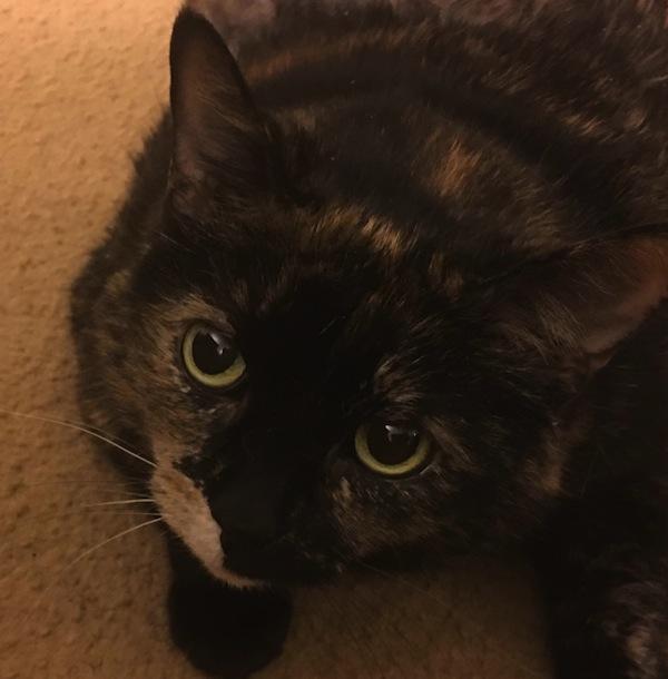Honey. Cat for adoption. Toronto GTA Durham Region