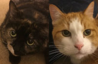 Honey and Sam. Cats for adoption. Toronto GTA, Durham Region
