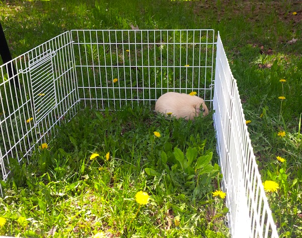 abbey. guinea pig adopted. enjoying outdoor time at forever home