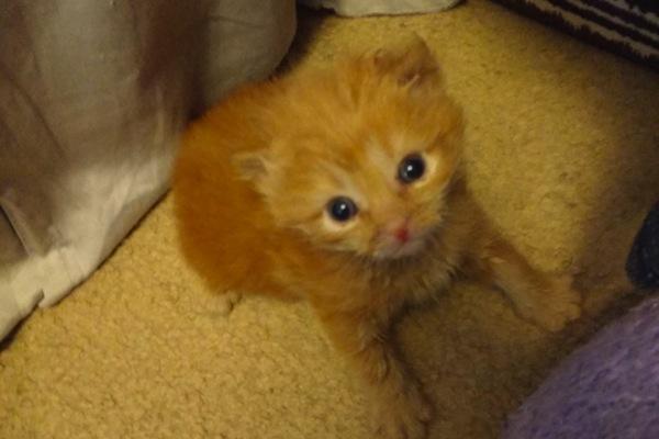Rescue Kitten. Chilli. For adoption. Toronto GTA, Durham Region pet rescue