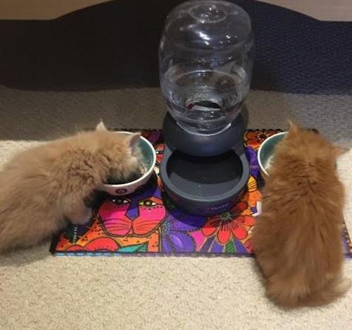 Adopted kittens. Toronto GTA