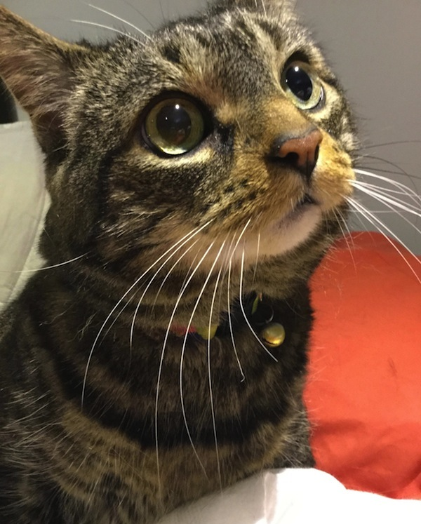Mimi. Tabby cat for adoption. Toronto GTA, Durham Region