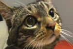 Mimi. Pretty Tabby Cat Finds Permanent New Home