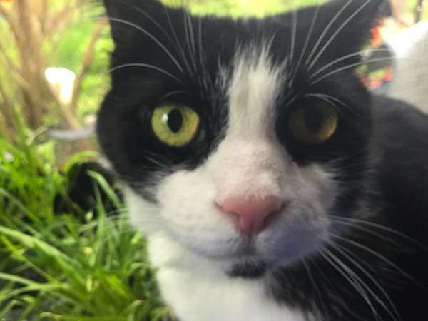 Moustache. Adoptable cat. Toronto GTA, Durham Region