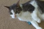 Sylvester. Lucky, Playful, Rescue Cat Needs Forever Home