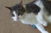 Sylvester. Cat for adoption. Toronto GTA Durham Region