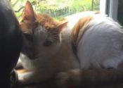 """Tucson. Sweet Cat, A Real """"Purr"""" Machine, Seeking New Home"""