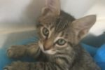 Alexander. Playful Kitten Joins New Forever Home in Ajax