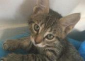 Alexander. Playful Kitten For Adoption