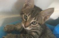 Alexander. Kitten for adoption.