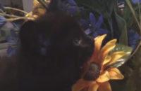 BlueBelle. Kitten for adoption
