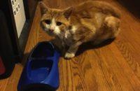 Gulliver. Rescue cat for adoption