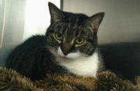 Lady. Cat for adoption. Toronto GTA Durham Region