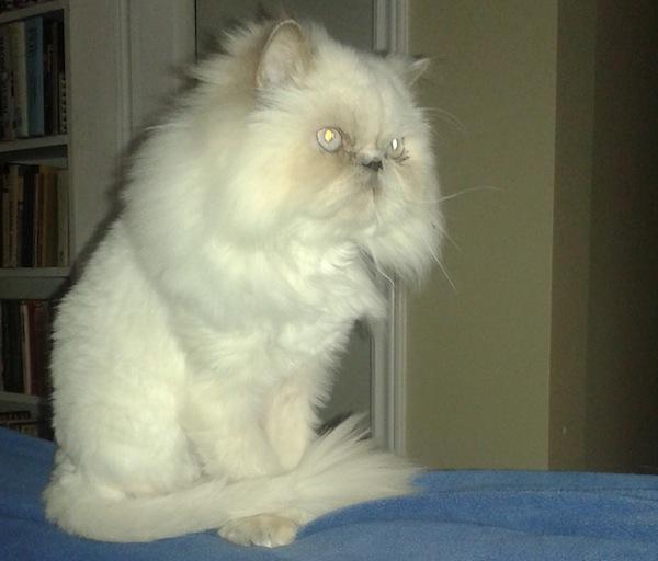Lolah. Himalayan Cat for adoption