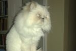 Lolah. Gorgeous Himalayan Cat Finds New Home