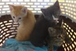 Golden Boy, Pinocchio And Mattie. Lucky Kittens For Adoption