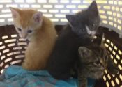 Golden Boy, Pinocchio And Mattie. Lucky Kittens For Adoption