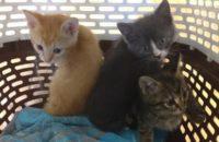 (From Left to Right) Male kitten Golden Boy, male kitten Pinocchio and female kitten Mattie.