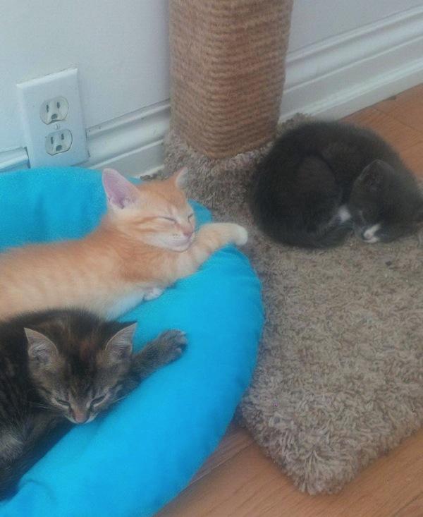 kittens for adoption. oasisanimalrescue.ca