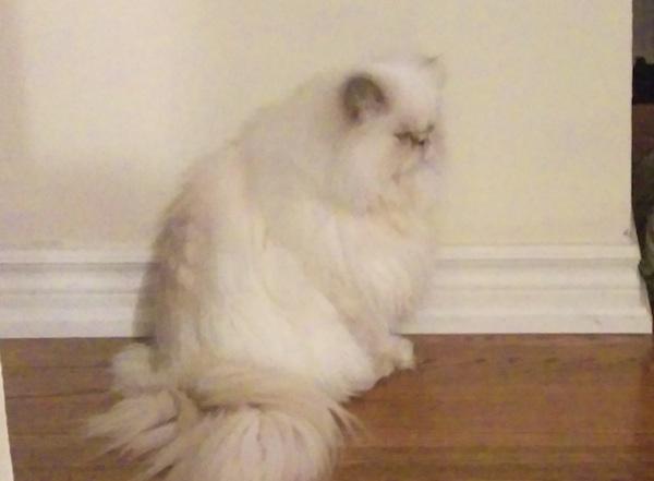 Persian Cat Rescue Toronto