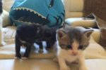Quacey, Artimus and Nokimos. Adorable, Adoptable Kittens – UPDATE