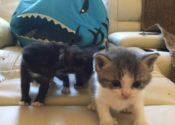 Quacey, Artimus and Nokimos. Adorable Kittens For Adoption