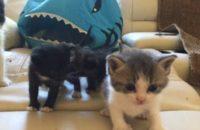 Rescue kittens for adoption. Toronto GTA Durham Region
