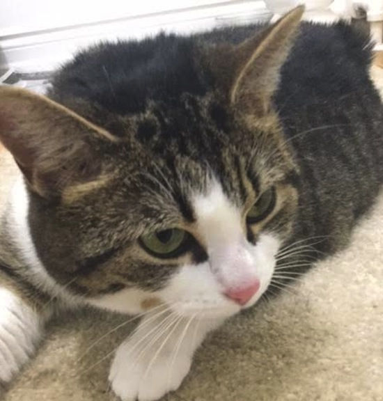 Zoe. Friendly cat for adoption. Toronto GTA Durham Region