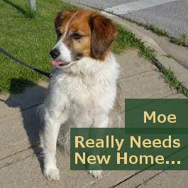 Dog for adoption, Moe. toronto GTA
