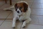 Moe. Papillon Spaniel Cross Male Dog Needs New Home
