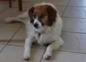Moe. Papillon Spaniel Cross Male Dog Needs New Home