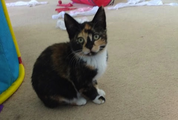 Selena. Kitten for adoption. Toronto GTA, Durham Region