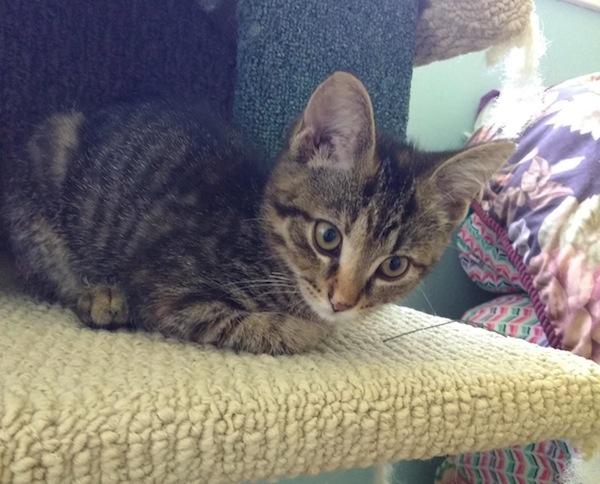 Mattie. Kitten for adoption