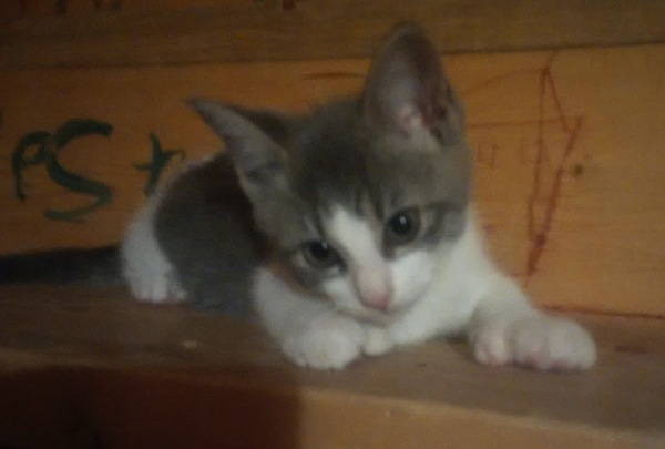 Nokimos. Kitten for adoption. Toronto GTA Durham Region