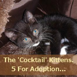 Five Kittens For Adoption. Toronto GTA Durham Region