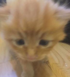 Archer. Kitten for adoption. Toronto GTA Durham Region