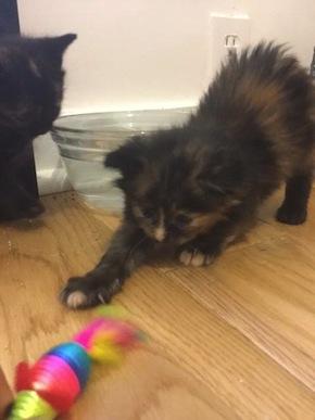 Ariel. Kitten for adoption. Toronto GTA
