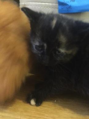 Halley. Kitten for adoption Toronto GTA Durham Region