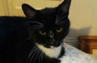 Donna. Rescue cat for adoption, Durham Region, Toronto GTA