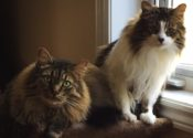 Drizzy And Weezy. Brother Cats Need Foster/Perm Home – Urgent