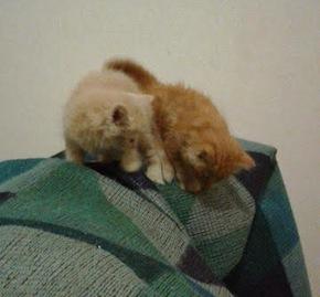 6 week old kittens for adoption