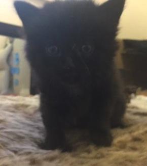 Lyra. Kitten for adoption. Toronto GTA Durham Region.