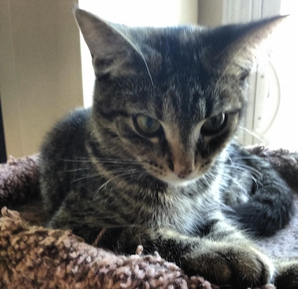 Mattie. Rescue kitten for adoption. Durham Region Toronto GTA